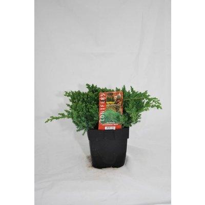 Juniperus procumbens Nana.