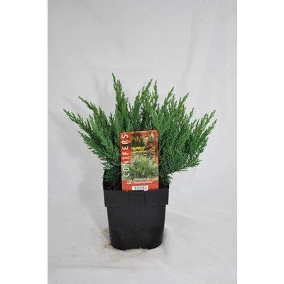 Juniperus sab. Tamariscifolia.