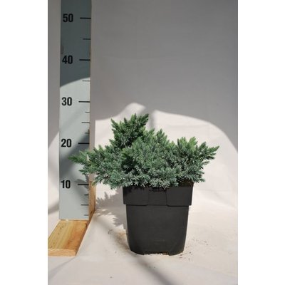 Juniperus sq. Blue Star.