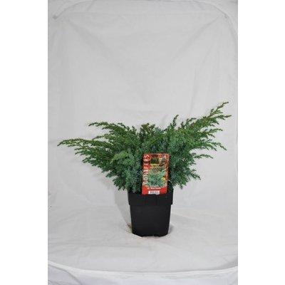 Juniperus sq. Blue Swede.
