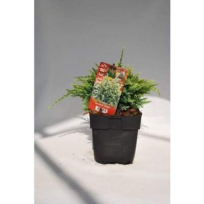 Juniperus sq. Holger