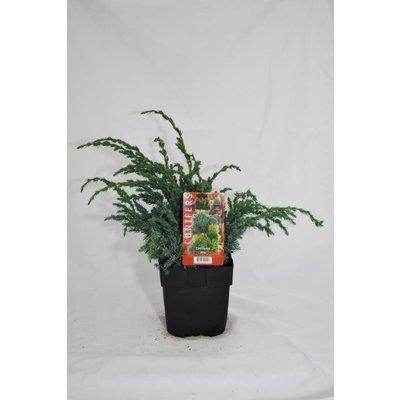 Juniperus sq.Meyerii.