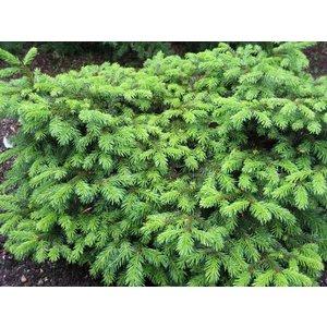 Picea ab.'Pumila Nigra'
