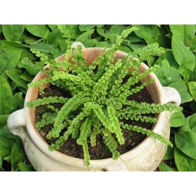 Athyrium F-F 'Frizelliea' .