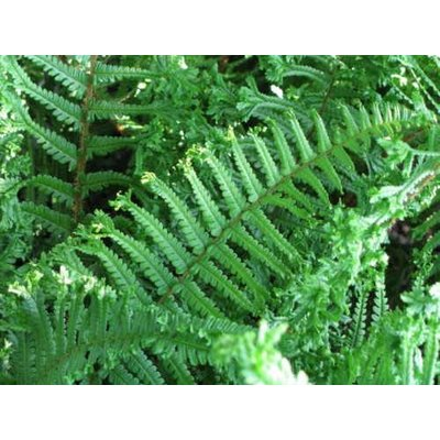 Dryopteris aff. 'cristata' the king