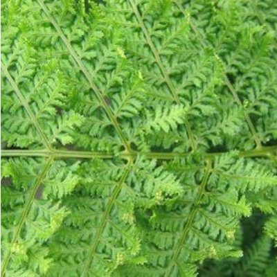 Dryopteris Dil. White side