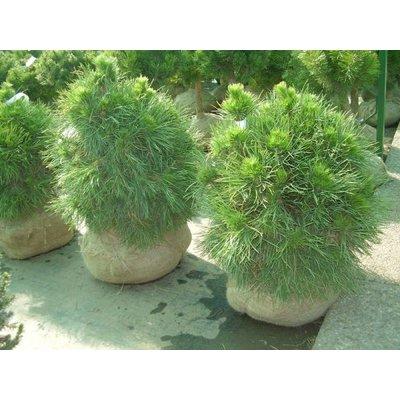 Pinus sylv. 'Globosa Viridis'