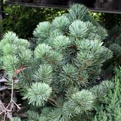 Pinus parv. 'Neigishi'