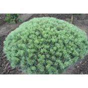 Pinus sylv. 'Glauca'