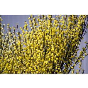 Cytisus 'Golden Sunlight' Struik