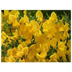 Cytisus 'Golden Tears' Struik