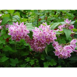 Deutzia mag. 'Tourbillon Rouge'