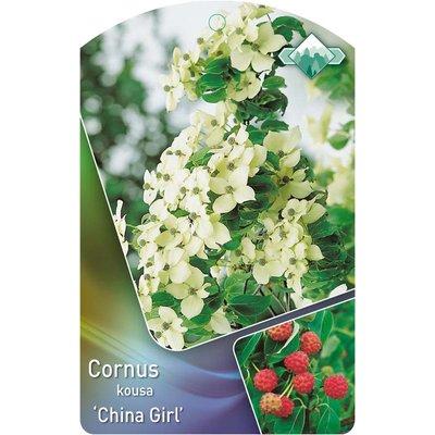 Cornus k. 'China Girl'