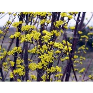 Cornus Officinalis