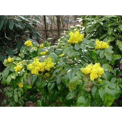 Mahonia aquifolium 'Smaragd'