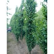 Betula  pend. 'Fastigiata'