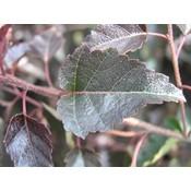 Betula  pend. 'Purpurea'