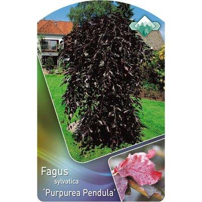 Fagus 'Purpurea Pendula' op stam