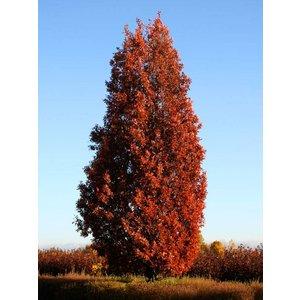 Quercus bim. 'Crimschmidt'