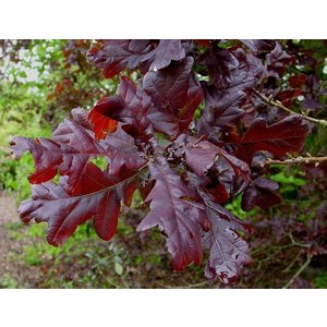 Quercus robur 'Purpurascens'
