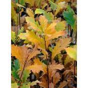 Quercus warei 'Regal Prince'