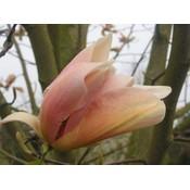 Magnolia Peachy
