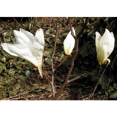 Magnolia Salicifolia Concolor