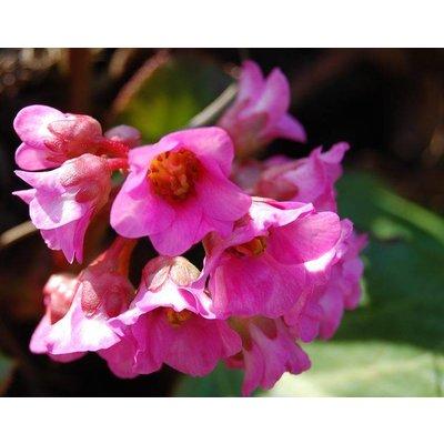 Bergenia cor. 'Purpurea'(S)