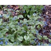 Brunnera macrophylla blauw