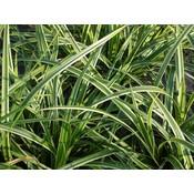 Carex mor. 'Variegata'