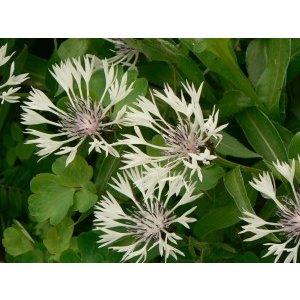 Centaurea mon. 'Alba' wit