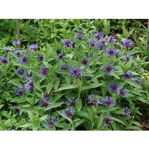 Centaurea montana violblauw