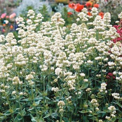 Centranthus ruber 'Albus' wit