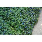 Ceratostigma plumbaginoides blauw