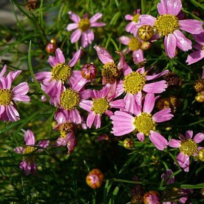 Coreopsis ros. 'American Dream'roze