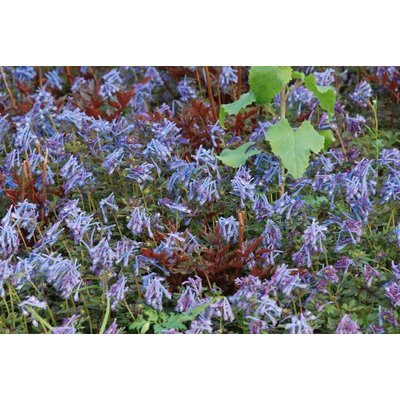 Corydalis fle. 'Purple Leaf'