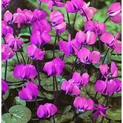 Cyclamen coum roze