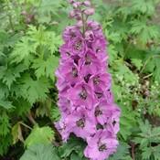 Delphinium (P) 'Astolat' roze