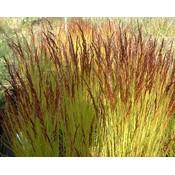 Deschampsia fle. 'Tatra Gold'