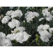 Dianthus (P) 'Haytor White' wit