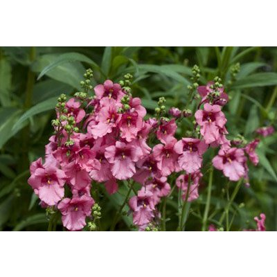 Diascia 'Ruby Field' dieproze