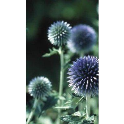 Echinops ban. 'Taplow Blue'bl