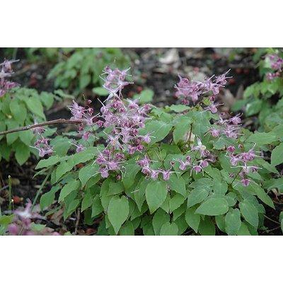 Epimedium grandiflorum wit