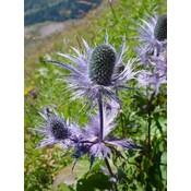 Eryngium alpinum blauw
