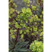 Euphorbia amy. 'Purpurea'