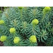 Euphorbia cha. wulfenii geelgr