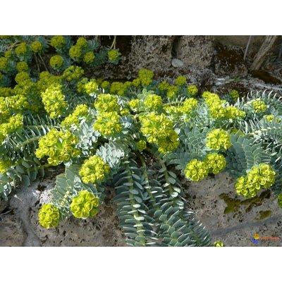 Euphorbia myrsinites geel