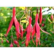 Fuchsia mag. gracilis