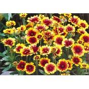 Gaillardia 'Kobold' rood+geel