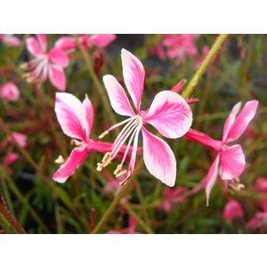 Gaura lin. 'Siskiyou Pink' roze
